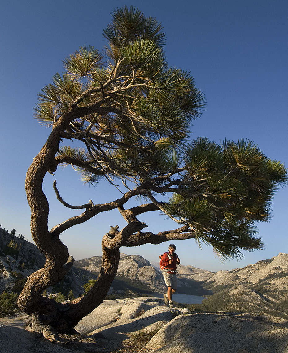 Jeffrey Pine California