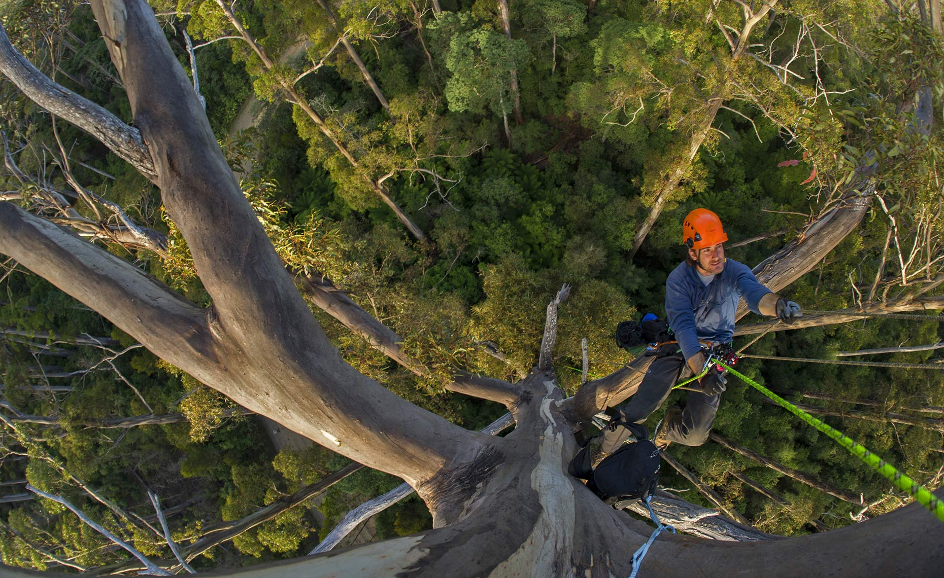 Giant Eucalyptus Trees: National Geographic magazine